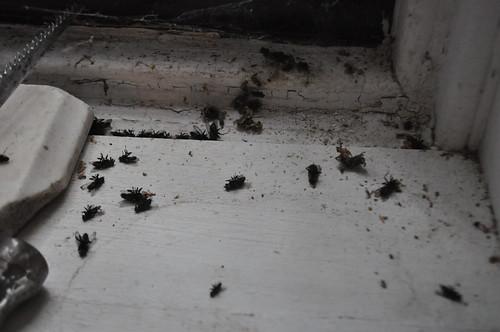 dead flies by the window