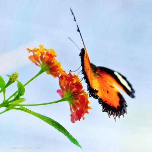 Malay Lacewing, cethosia hypsea hypsina, Sabah, Kota Kinabalu, Kipandi Butterfly Park, butterfly.