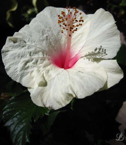 White and pink single bloom Hibiscus