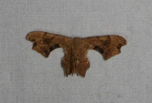 Brown Scoopwing