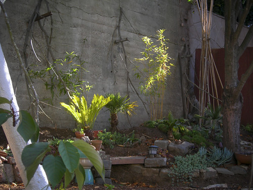 newly planted bamboo in the back yard