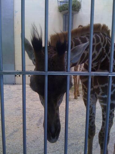 MMX 227 Bad Giraffe
