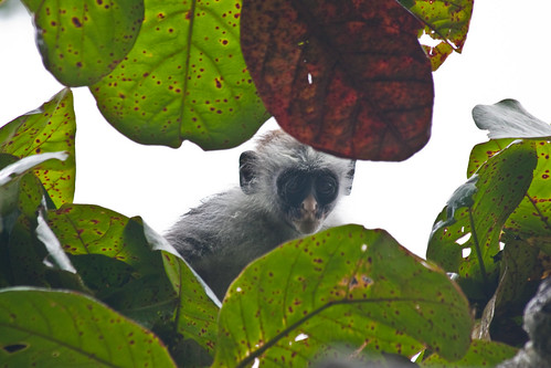 Red Collibus Monkey