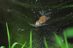 270/365 swimming Marsh Rabbit!
