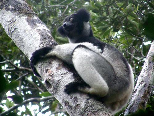 Indri indri (EN)