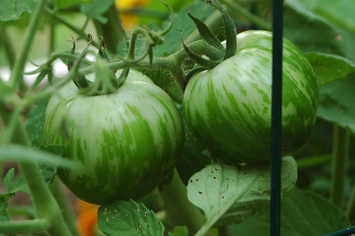 Green Zebras...Tomatoes that is