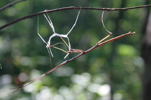 walkingstick with shed exoskeleton