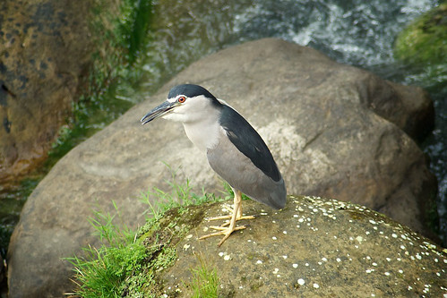 Taiwanese Black-Crowned Night-Heron