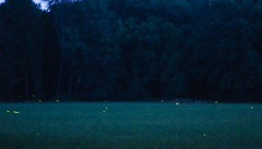 Fireflys, lightning bugs in the pasture at dusk