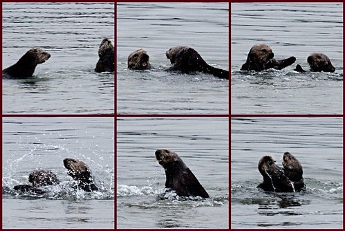 Otters at Play: a mosaic of 6 images of otters playing in the water, splashing each other and generally romping