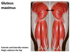 Gluteus maximus - Muscles of the Lower Extremi...