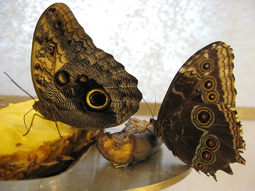 butterflies with eyes