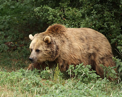 Brown Bear 4