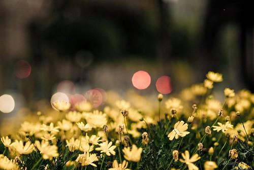Yellow Flower Field.