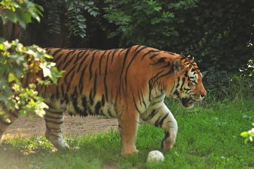 Sibirischer Tiger Dart im Kölner Zoo