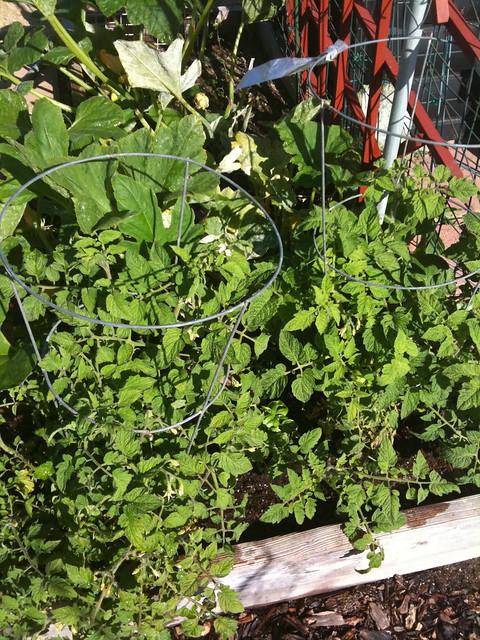 Tomato plants kicking along