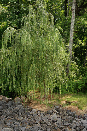 365-179 Weeping Willow