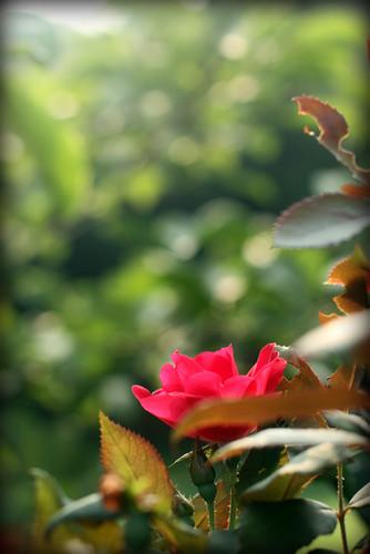Friday light rose