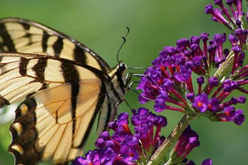 Butterfly with Broken Wings