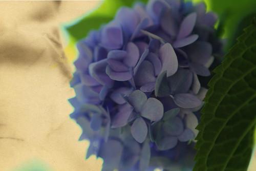 Endelss Summer Hydrangea w/texture