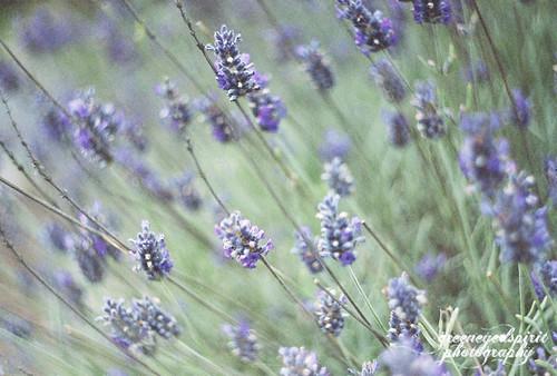 lavender-1