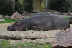 Flusspferde im Kölner Zoo