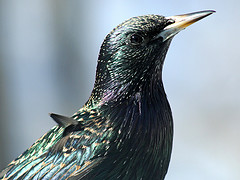 European Starling by Jayne Gulbrand