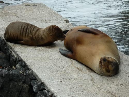 Baby Seelöwe wird gestillt, Galapaos Islands