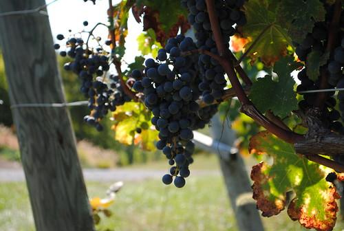 Grapes on the Vine, Linden Vineyards