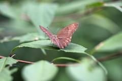 三保市民の森のジャノメチョウ