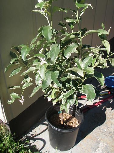Pink Lemon Tree