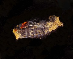 Salpa maxima