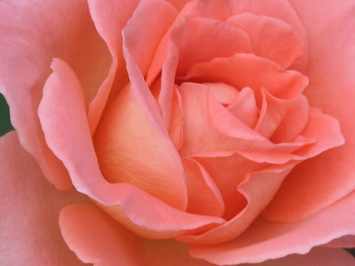 Hillwood rose