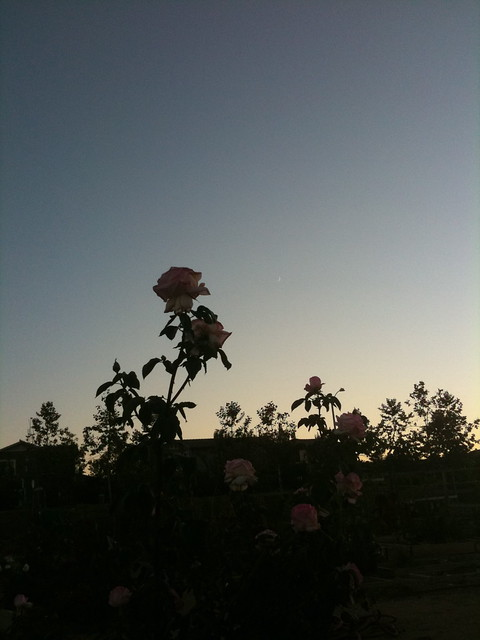 Roses and a new moon