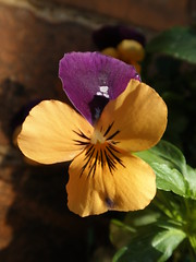 Photo of a viola in bloom