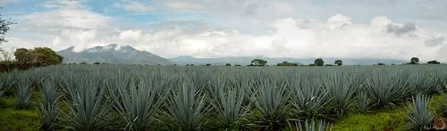 Panoramica Paisaje Agavero y Cerro de Tequila