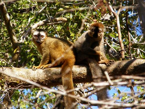 Lémures marrones de frente roja (Eulemur rufus)
