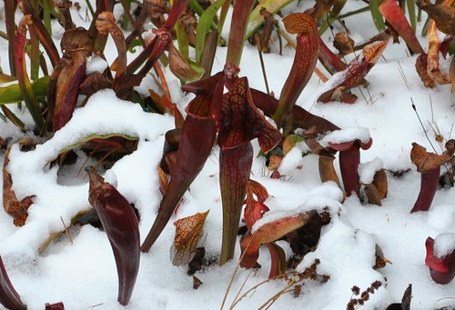 Sarracenia in the snow