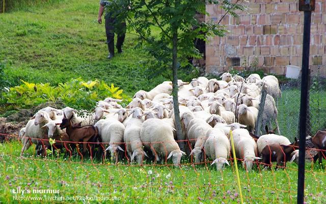開車經過附近農家看到一群羊兒們被趕出來吃草,真的超可愛啊~