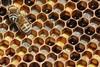 Ligurian Bee's (Apis mellifera ligustica)