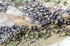 sea anemone colony