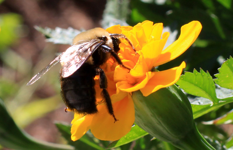 Bee Necter