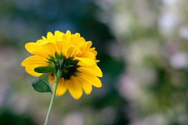 {248/365} chrysanthemum