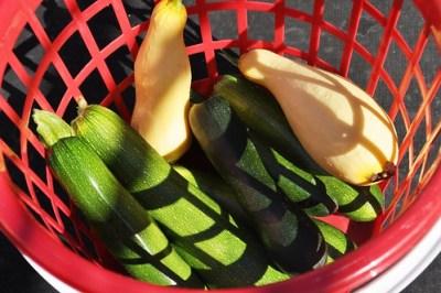Fresh Picked Squash at Hydro-Taste, a Hydroponic U-Pick Farm in Myakka City, Fla.