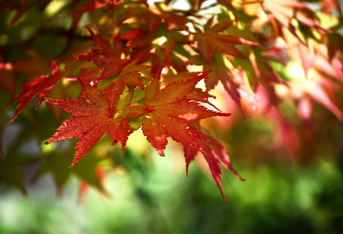 Red Leaves in the Wind