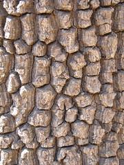 Tapia (Uapaca bojeri), corteza resistente al fuego