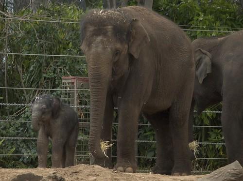 Baby Elephant 01