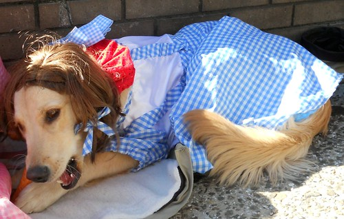 Toto dresses up as Dorothy