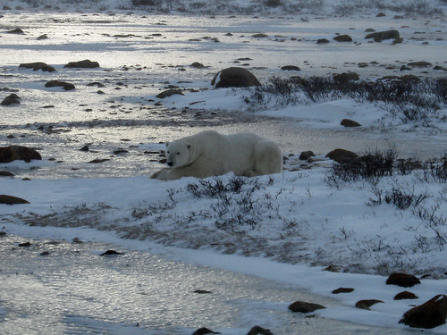 A Polar Bear near Churchill