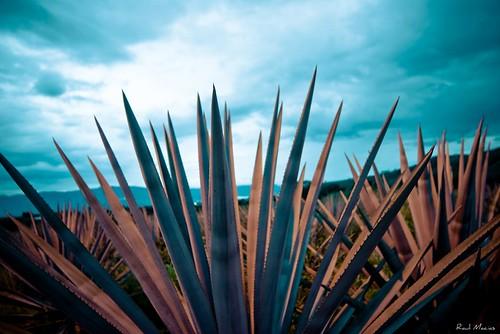 Agave Azul, Hacienda la Cofradia